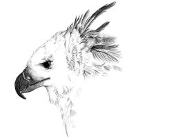 Harpy Eagle sketch by Golden-Plated