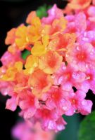 Lantana Cotton Candy by Monkeystyle3000