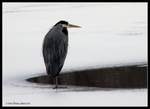 Heron Patience by Mogrianne