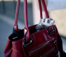 Toby in my Purse by punkchica06