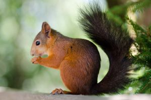 Red swedish squirrel by justThorvald