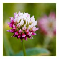 Clover by rscorp