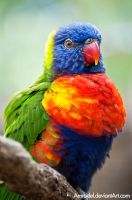 Rainbow Lorikeet III by amrodel