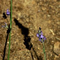 Lavender Flower and Shadow by Geak-of-Nature
