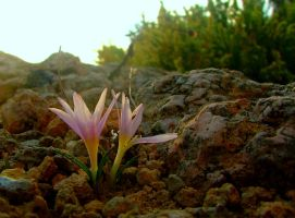 Sunset on the Saffron by floramelitensis