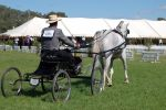 TW arab trot carriage pull by Chunga-Stock