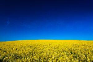 Canola Field Stock 1 by leeorr-stock