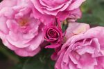 Rose Guy de Maupassant II by secondclaw