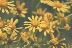 Yellow daisy by Rammka
