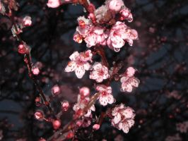 Cherry blossoms with ice by findmeaname