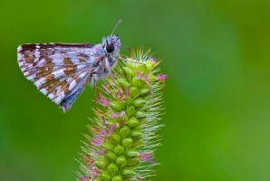 Butterfly 4 by sakaoglu