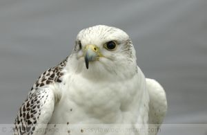 Monty the Gyr x Saker falcon by Jassylaw