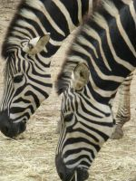 Zebras by guitarchickofhell666