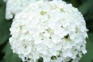 bunchy white flowers by Daaang