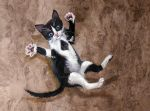 Feisty Kitty Painting 2 by HouseofChabrier