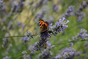 Dsc 0123 Small Tortoiseshell and Bee by wintersmagicstock