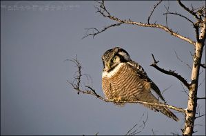 Hawk Owl by Sarah--Lynne