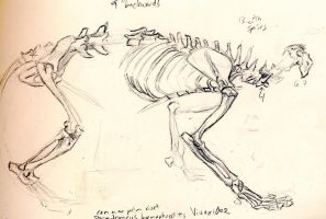 civet skeleton by ksheridan