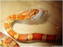 Corn Snake eating by LifesongPhotos