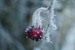 Frosty Red by Cappuccino8