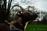 Pitbull pup 4 by puppy1128