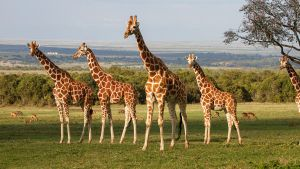 Giraffes of the Aberdares by CumbriaCam