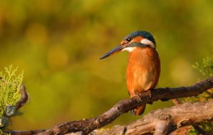 Kingfisher resting by missfortune11