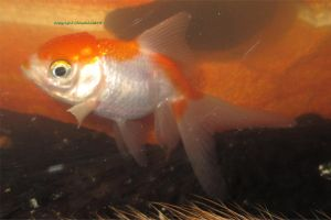 Peaches the happy goldfish by MaguschildCloud