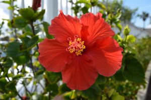 Hibiscus2 by dsweetz