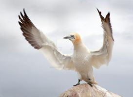 Calm Down, Calm Down - Northern Gannet by Jamie-MacArthur