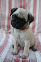 Barnaby the Pug Puppy by icantthinkofaname-09