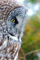 Great Gray Owl by griffspixs
