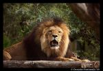 Happy Lion by TVD-Photography