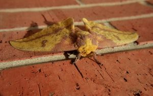 Imperial Moth - Fur Vision by Anachronist84