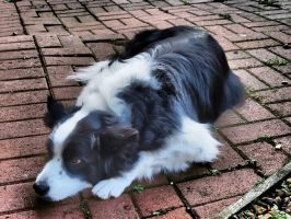 Border Collie watching shadows by davepphotographer