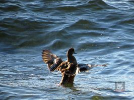 A Wigeon Wigging Out by wolfwings1