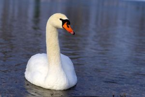 Swan 03 Stock by lokinststock