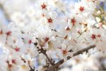 Almond Blossoms by michaelaforbus