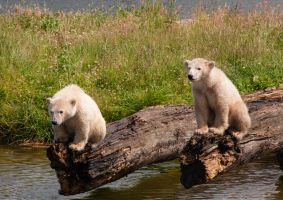 Polar Bear Cubs by PenguinPhotography