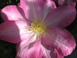 Clematis Closeup 2 by groundhog22