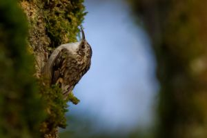 Brown Creeper by bovey-photo