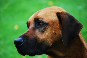 Rhodesian Ridgeback portrait by Honeycorn