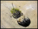 Horseshoe crabs by Abearce