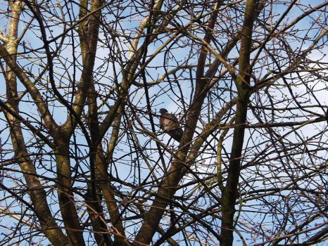 Pigeon in tree by BFG-Stock