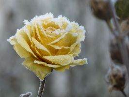 Frosted yellow rose by Gaalika