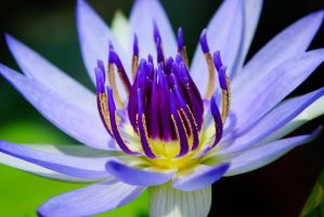 close-up of water lily flower 1 by a6-k
