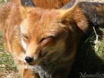 Sunny foxie by Momotte2