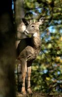 Whitetail by TimLaSure