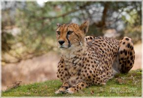 The Cheetah by MattNick