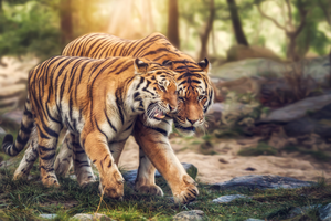 Tiger Love by Fotostyle-Schindler